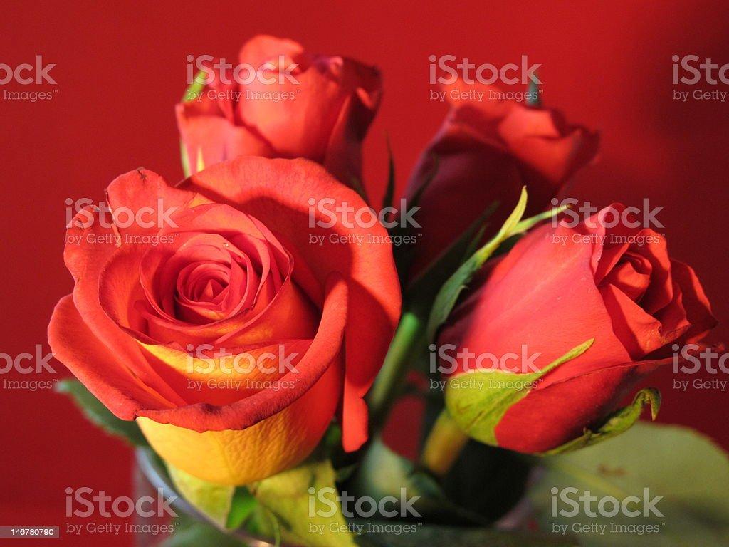 赤いバラ ロイヤリティフリーストックフォト
