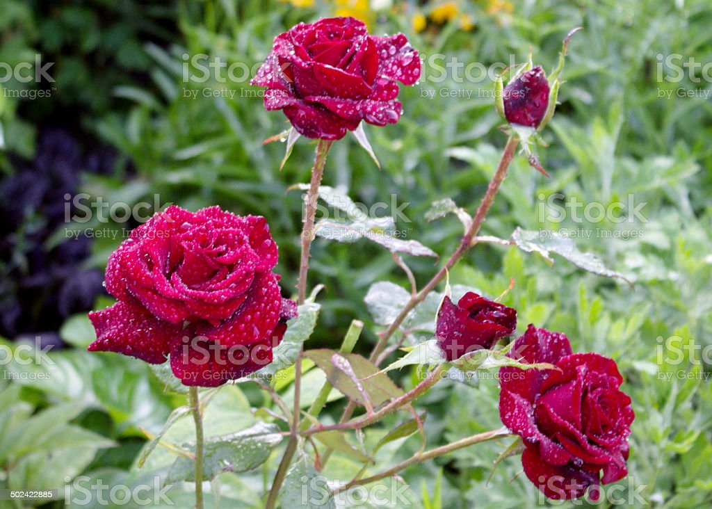 Red Roses. stock photo