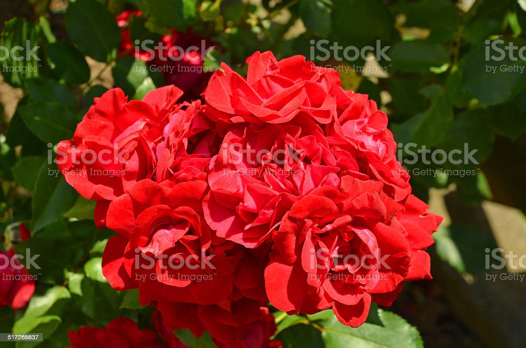 rote Rosen stock photo