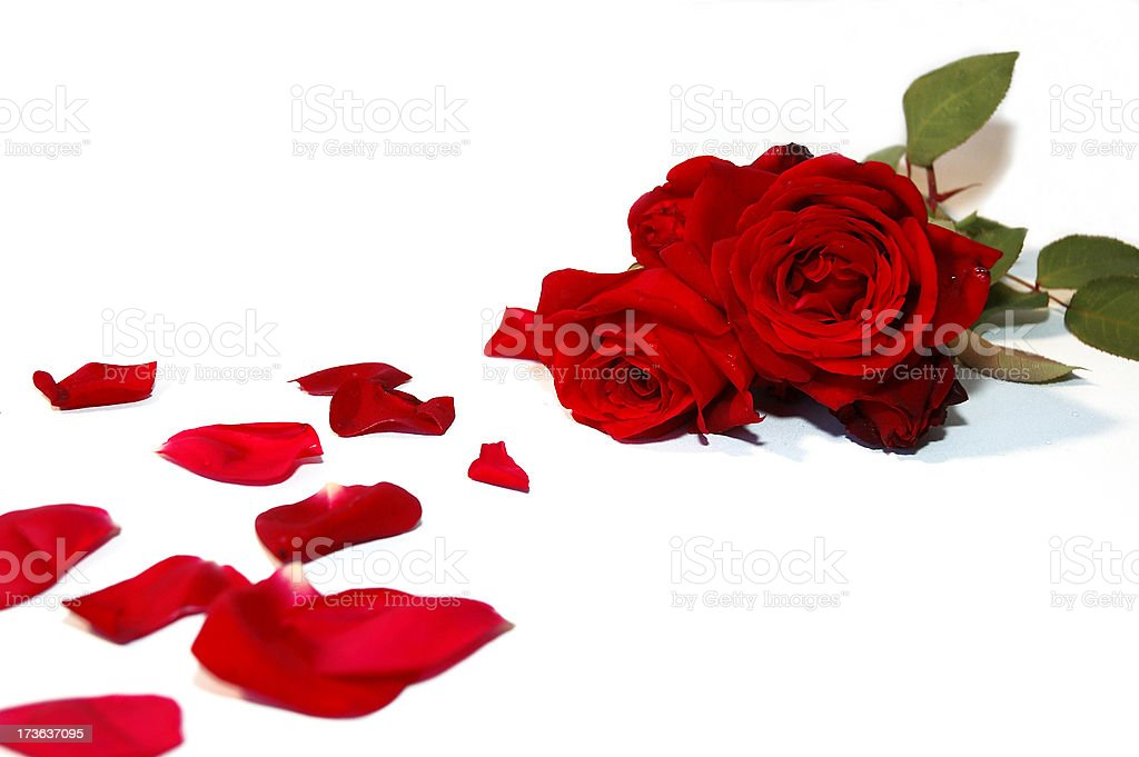 Red roses with trail of rose petals royalty-free stock photo