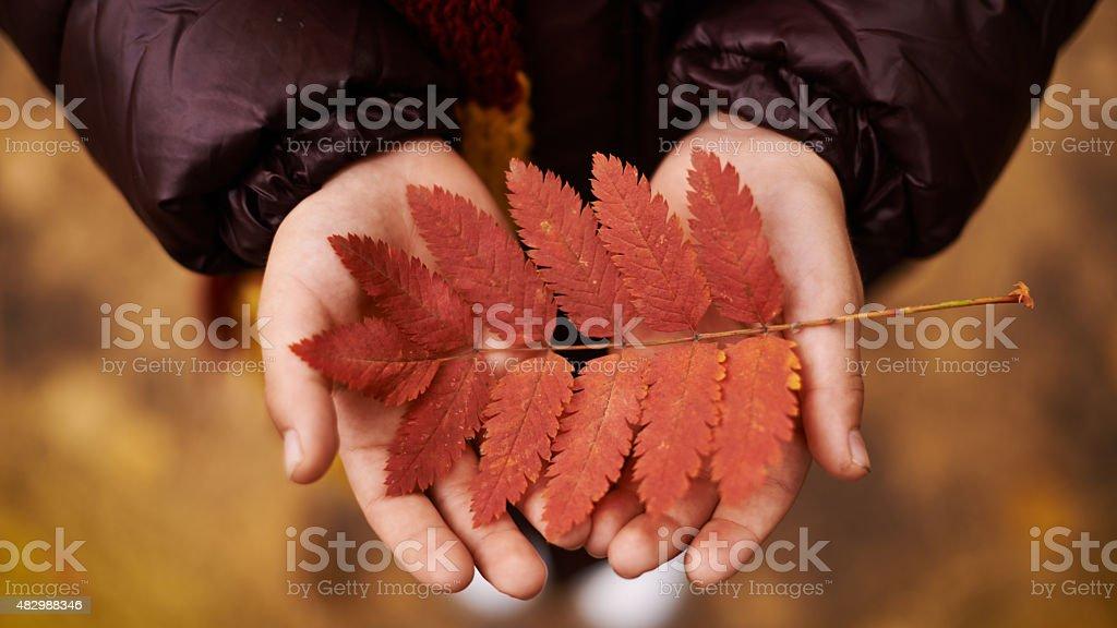 Red rowan-tree leaf stock photo