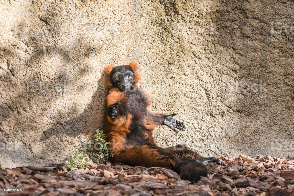 Red ruffed lemur (Varecia rubra) stock photo