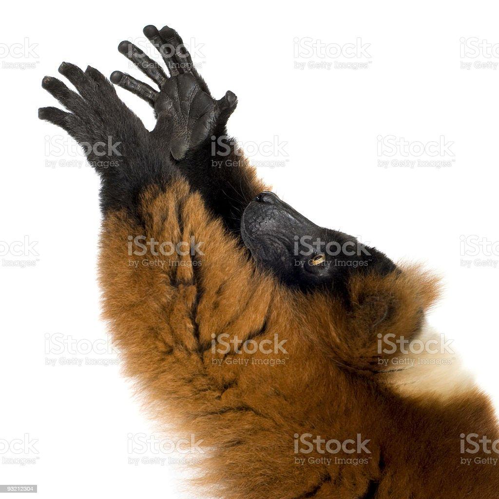 Red Ruffed Lemur royalty-free stock photo