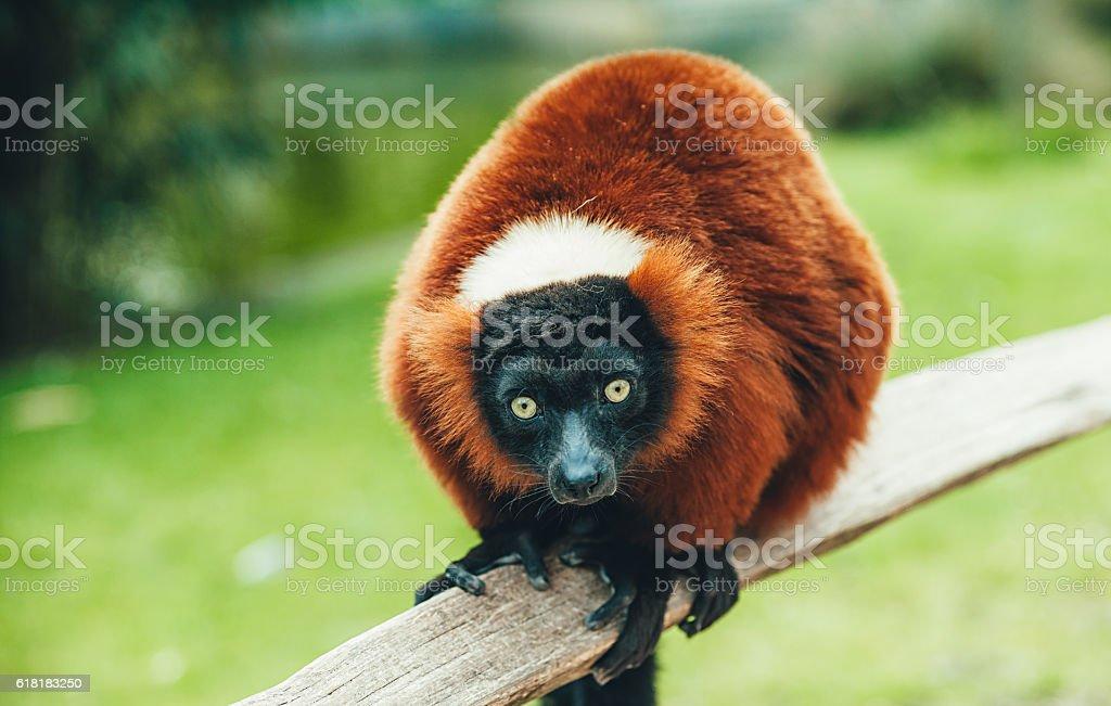Red Ruffed Lemur - Varecia rubra stock photo