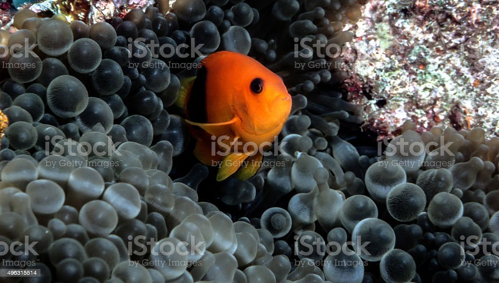 Red Saddleback Clownfish closeup with sea anemone - Thailand royalty-free stock photo