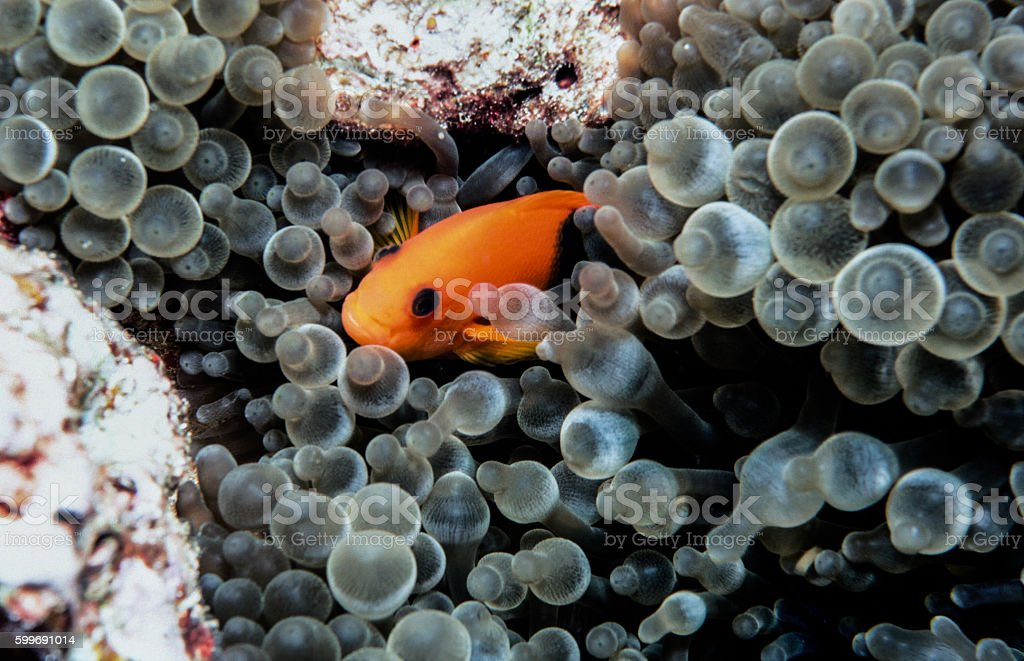 Red Saddleback Clownfish - Thailand (close-up) royalty-free stock photo