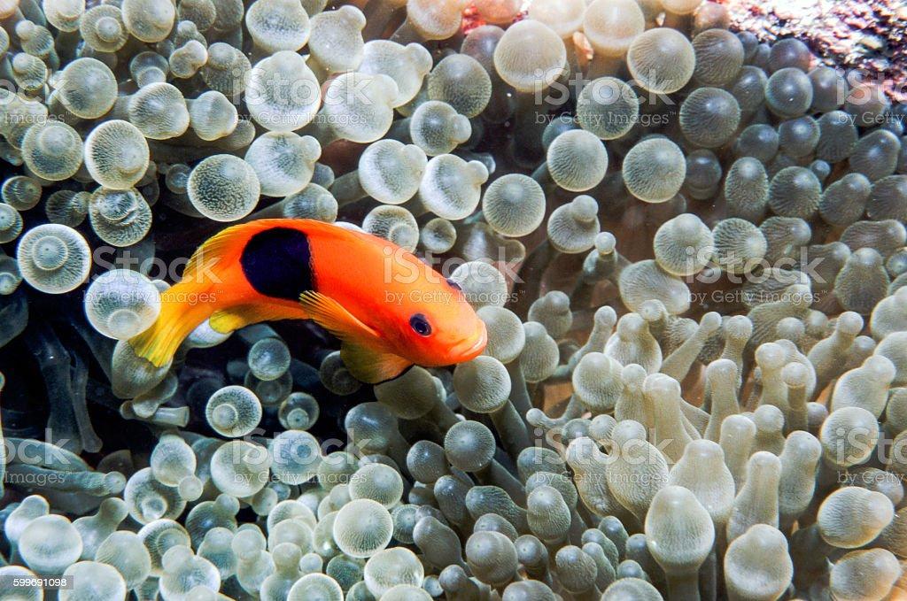 Red Saddleback Clownfish - Thailand (grin) royalty-free stock photo