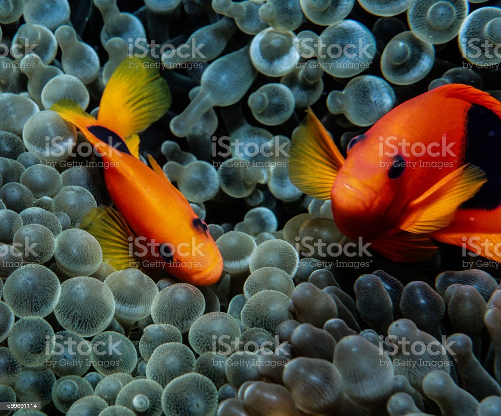 Red Saddleback Clownfish - Thailand (selfie) royalty-free stock photo