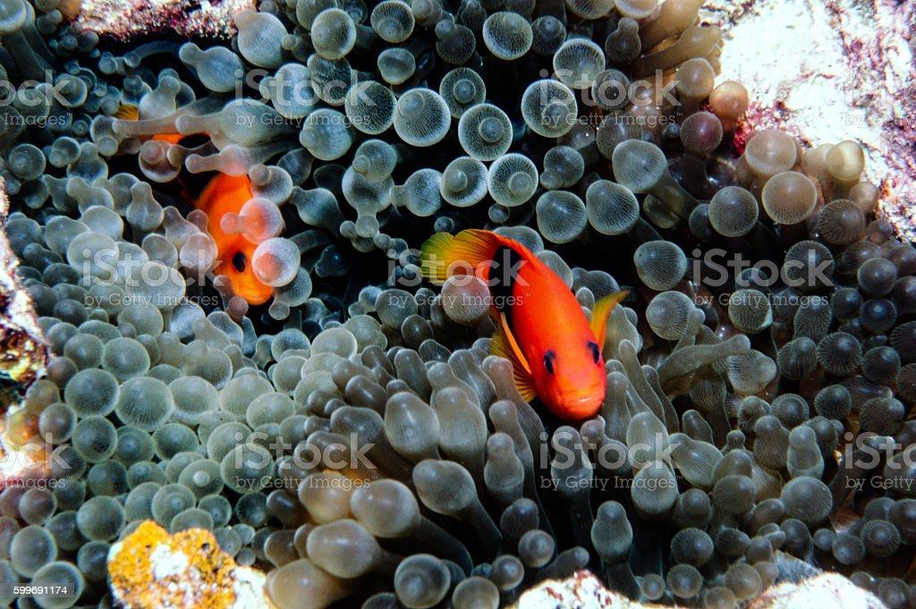 Red Saddleback Clownfish - Thailand (shy) royalty-free stock photo