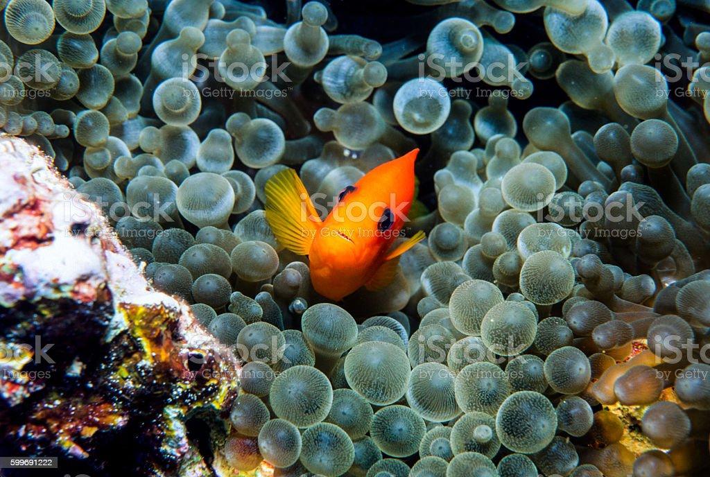 Red Saddleback Clownfish - Thailand (smile) royalty-free stock photo