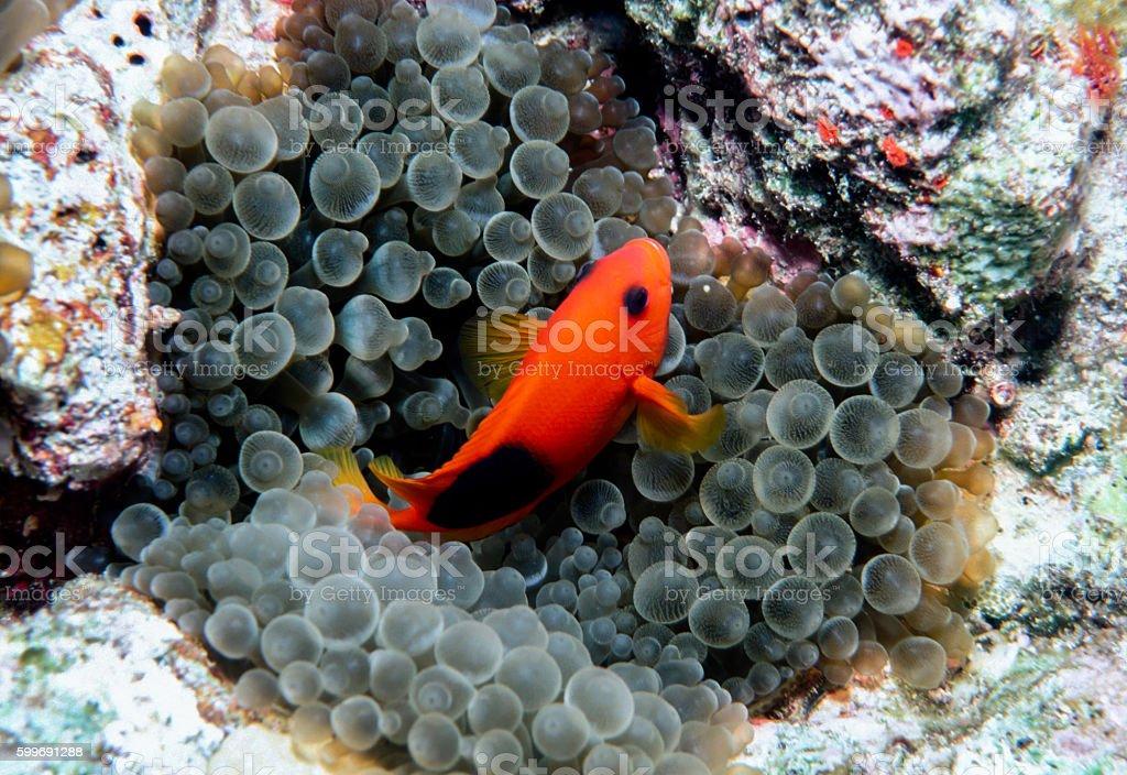 Red Saddleback Clownfish - Thailand (solo) royalty-free stock photo