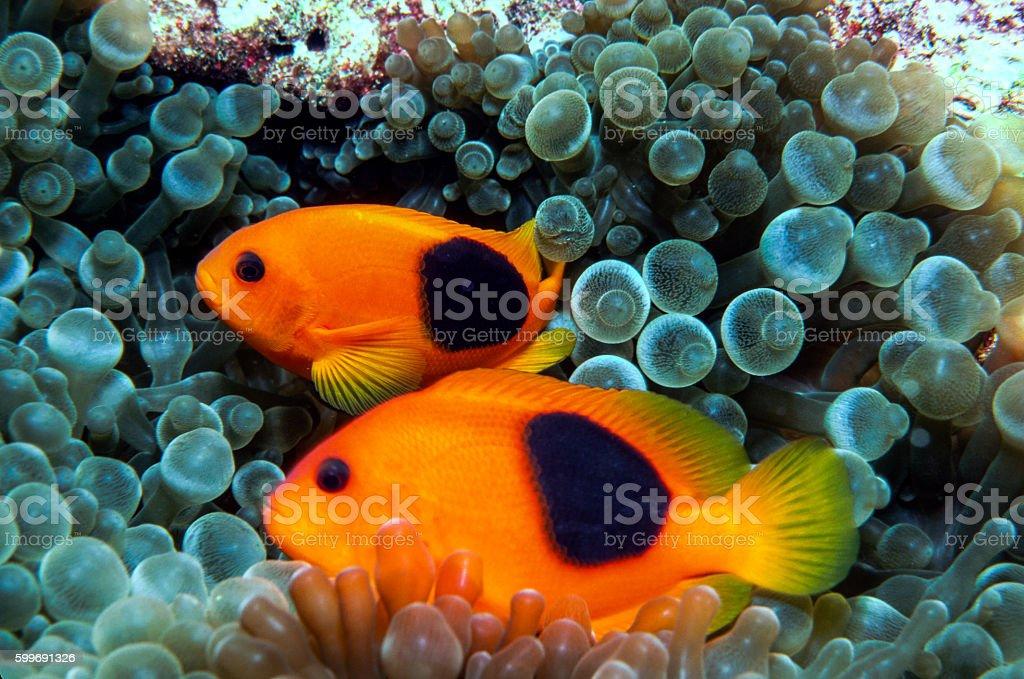 Red Saddleback Clownfish - Thailand (twins) royalty-free stock photo