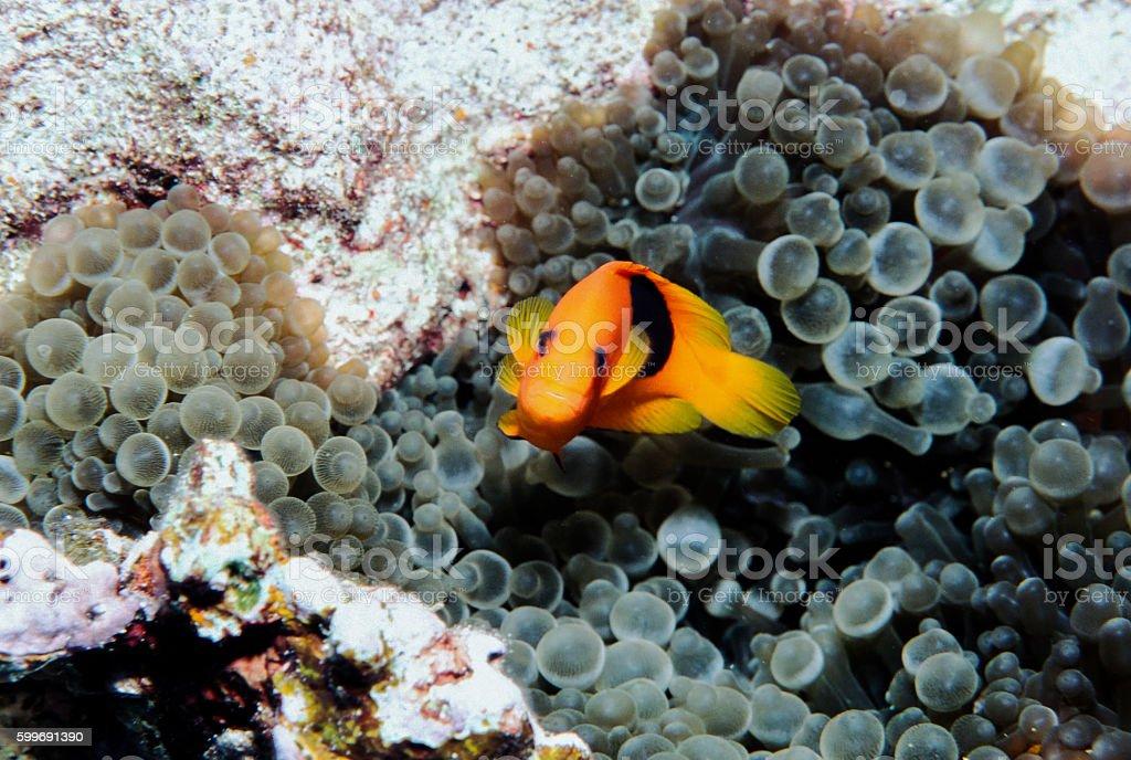 Red Saddleback Clownfish - Thailand (twist tight shot) royalty-free stock photo