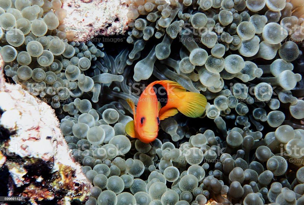 Red Saddleback Clownfish - Thailand (twist) royalty-free stock photo
