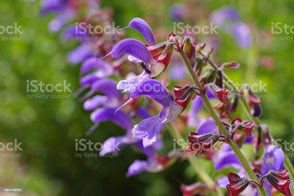 Red Sage plant in summer stock photo