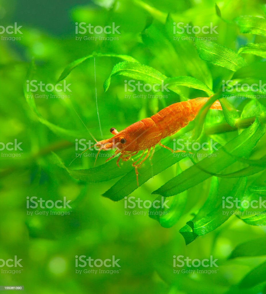 Red Sakura Dwarf Shrimp on waterweed stock photo