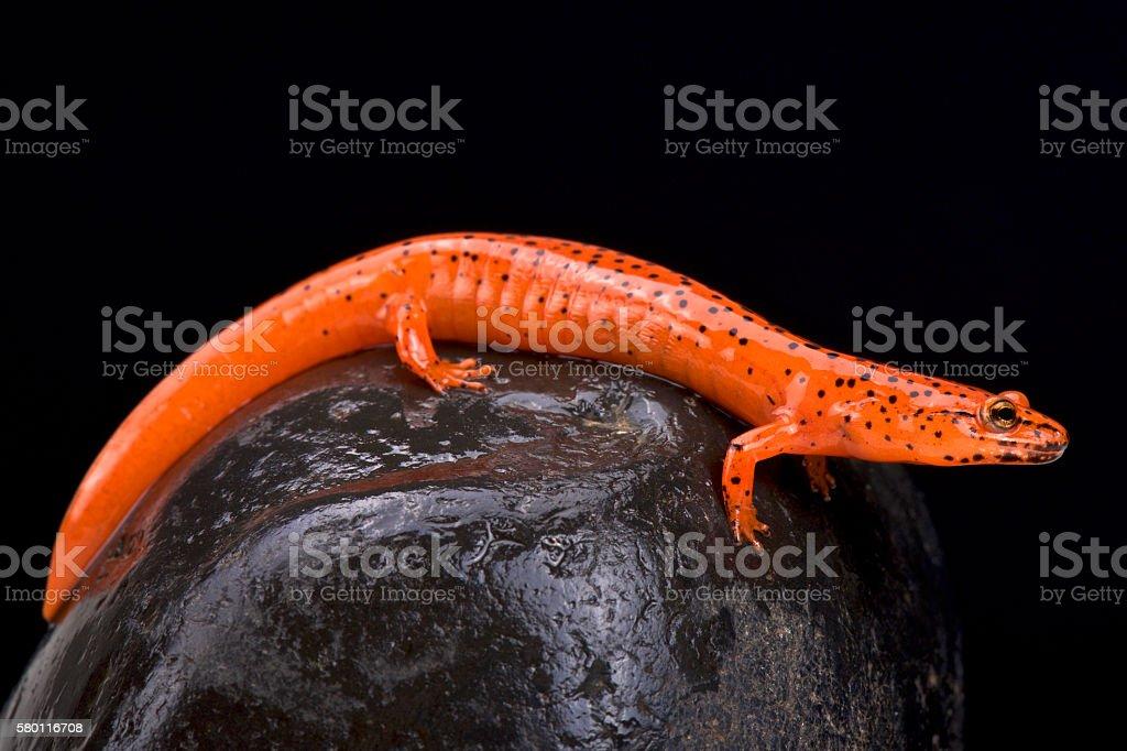 Red salamander (Pseudotriton ruber) stock photo
