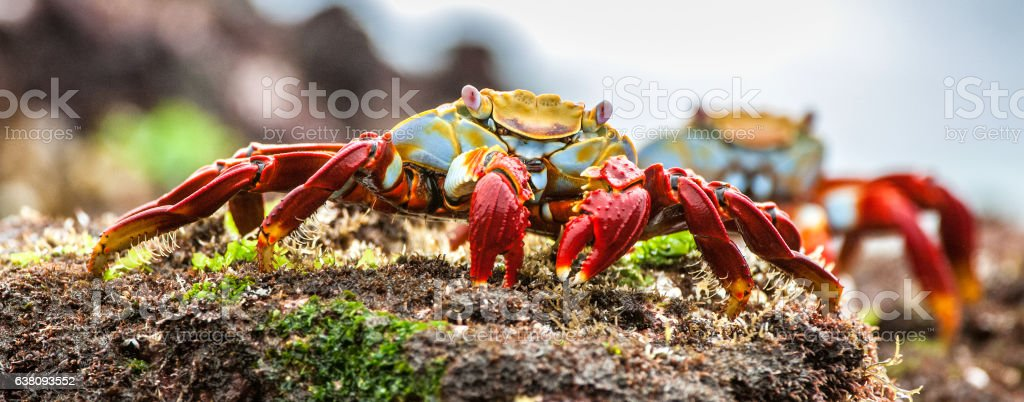 Red Sally Lightfoot crabs on a lava rock. stock photo