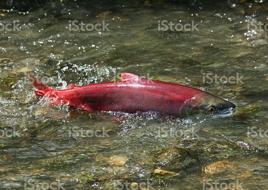 red salmon, female stock photo