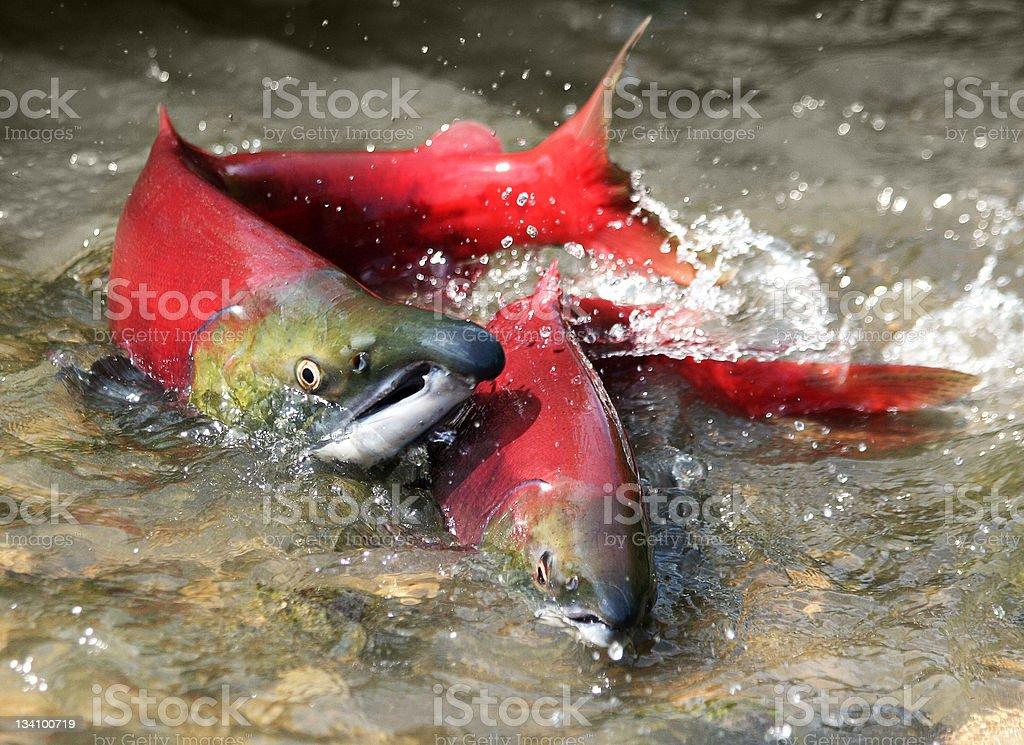 2 red salmon splashing about in the water stock photo