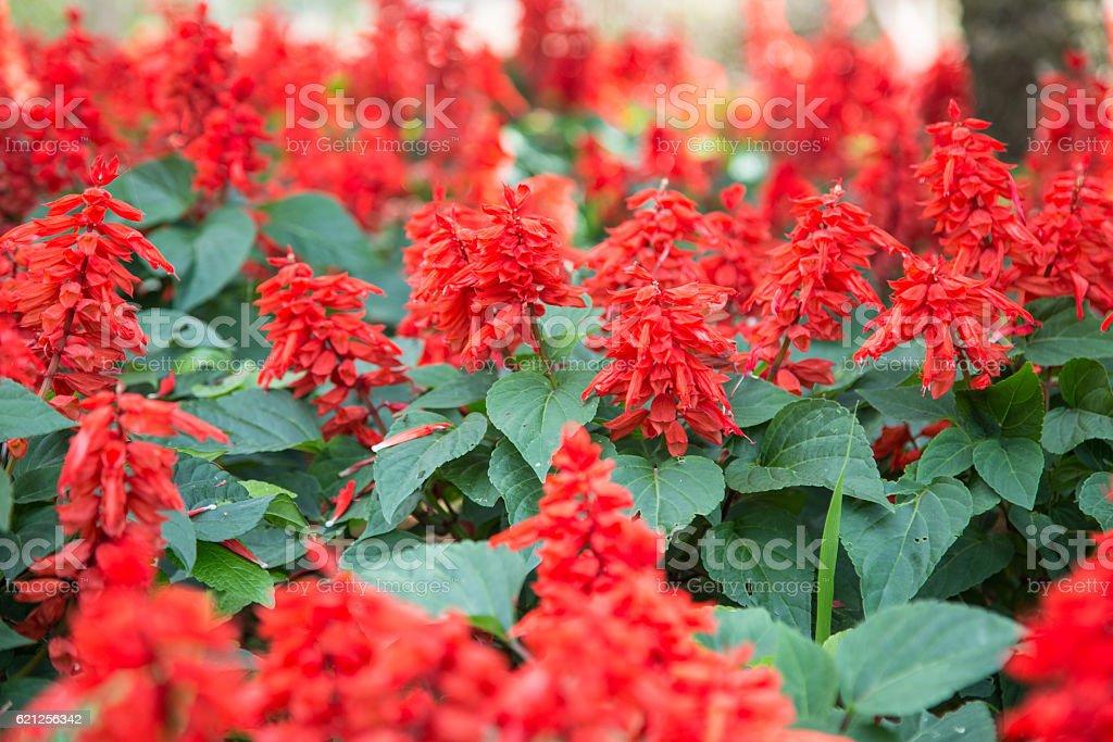 Red Salvia stock photo