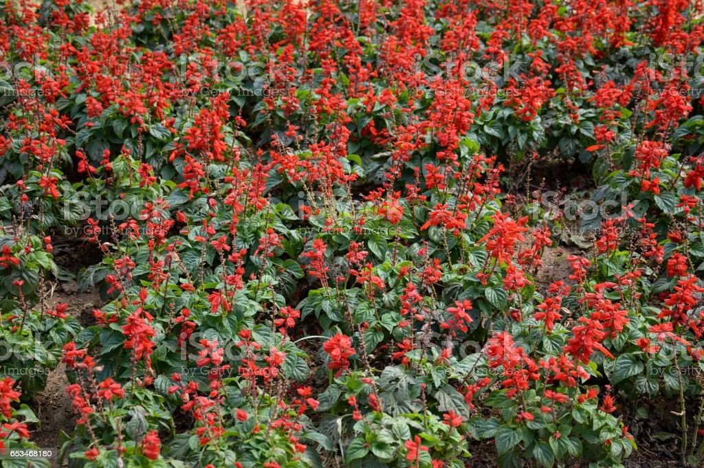 red salvia splendens flower stock photo