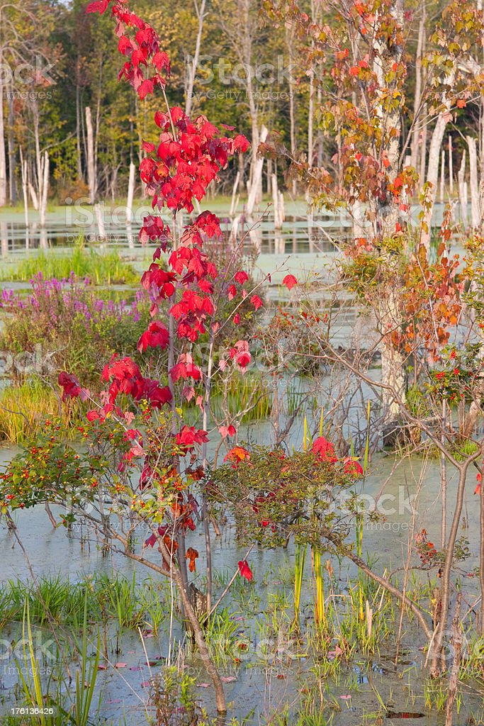 Red Sapling in Swamp royalty-free stock photo