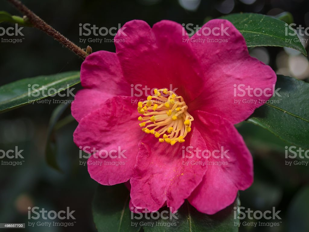 red sasanqua in the winter garden of japan stock photo 498557700
