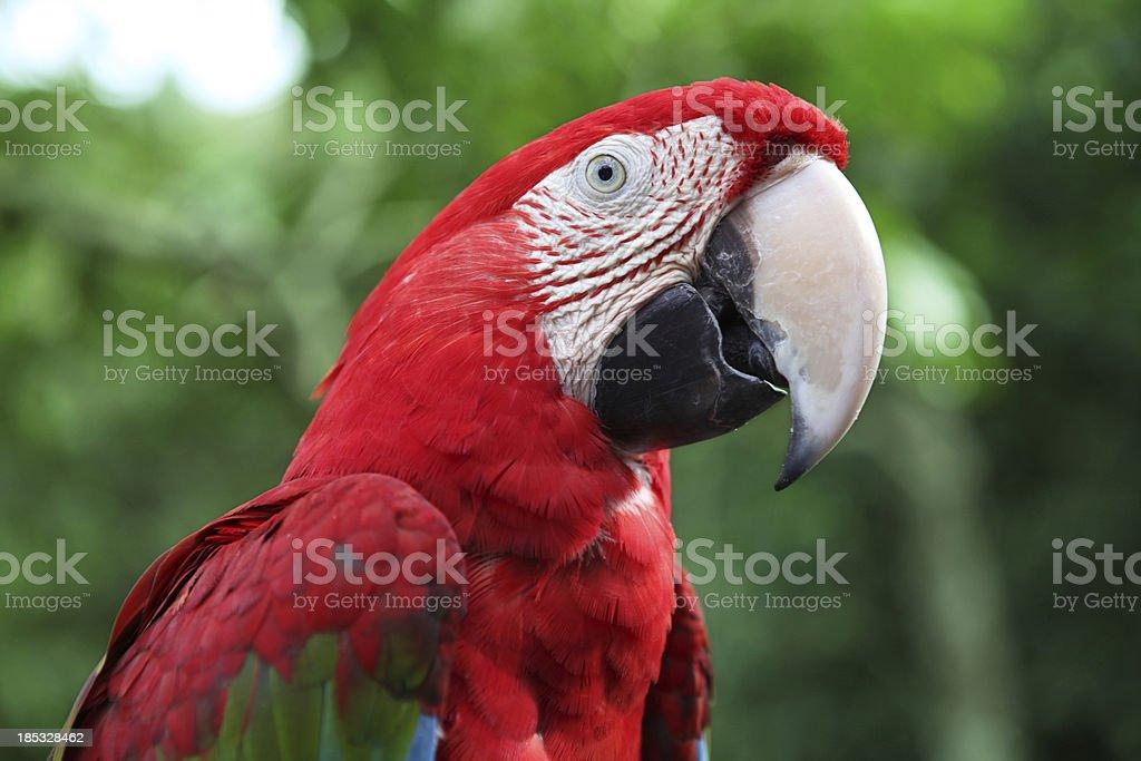 Red Scarlet Macaw Portrait - XXXLarge royalty-free stock photo