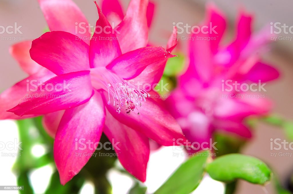 Red Schlumbergera flower, close up, isolated stock photo
