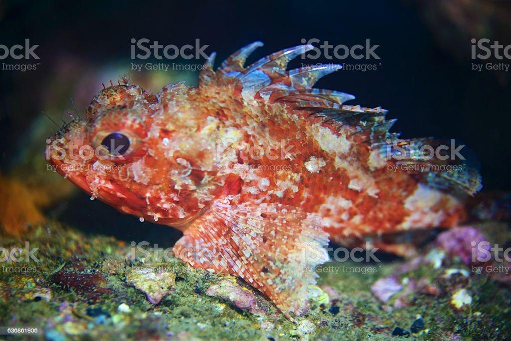 Red scorpionfish (Scorpaena scrofa) stock photo