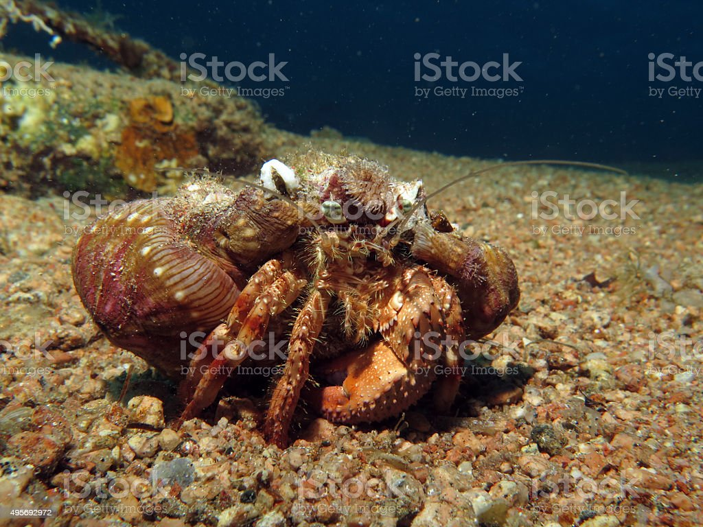 Red Sea anemone carrier stock photo