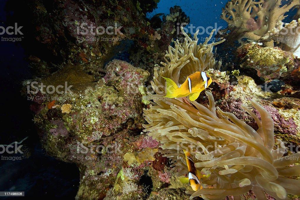 Red sea anemonefish (Amphipiron bicinctus) and bubble anemone royalty-free stock photo