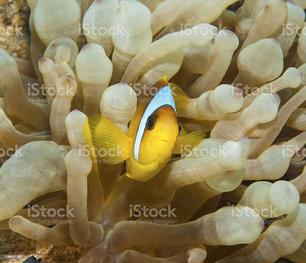 Red Sea anemonefish in an anemone stock photo