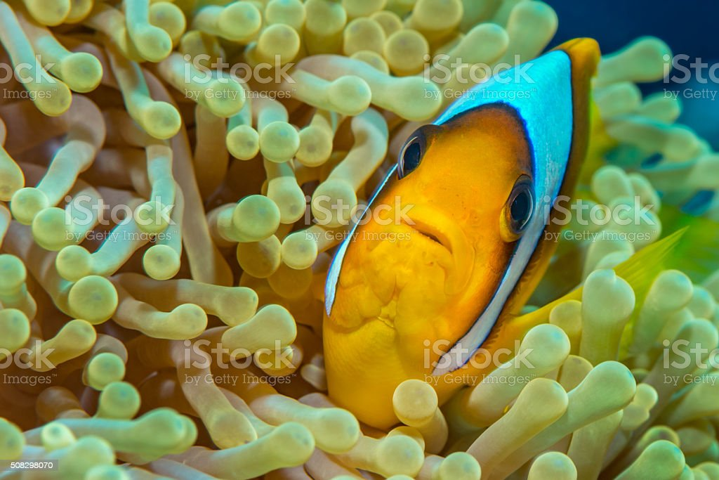 Red Sea anemonefish in magnificent anemone stock photo