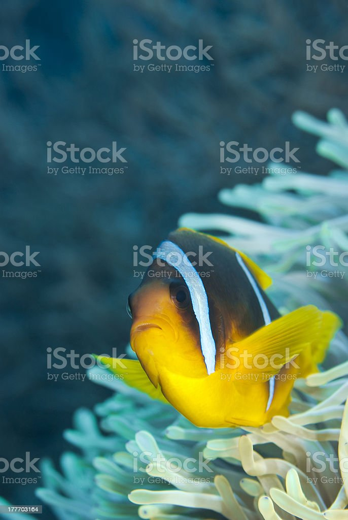Red Sea anemonefish (Clownfish). stock photo