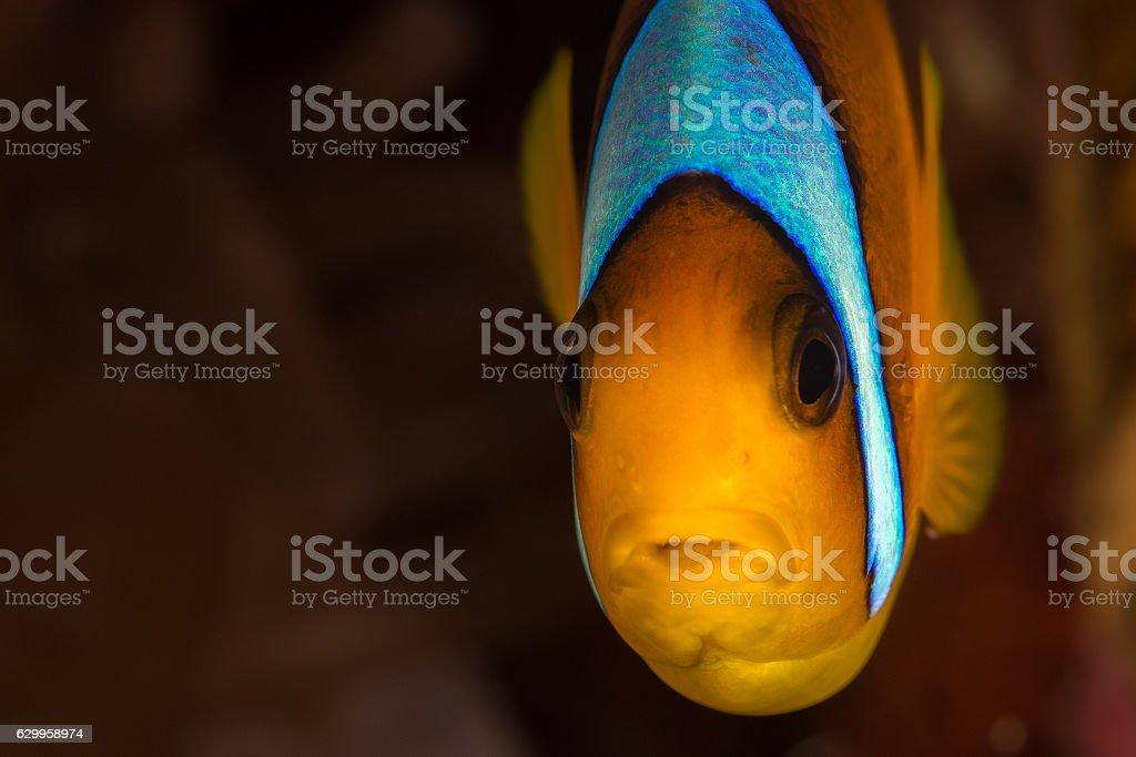 Red Sea anemonefish stock photo