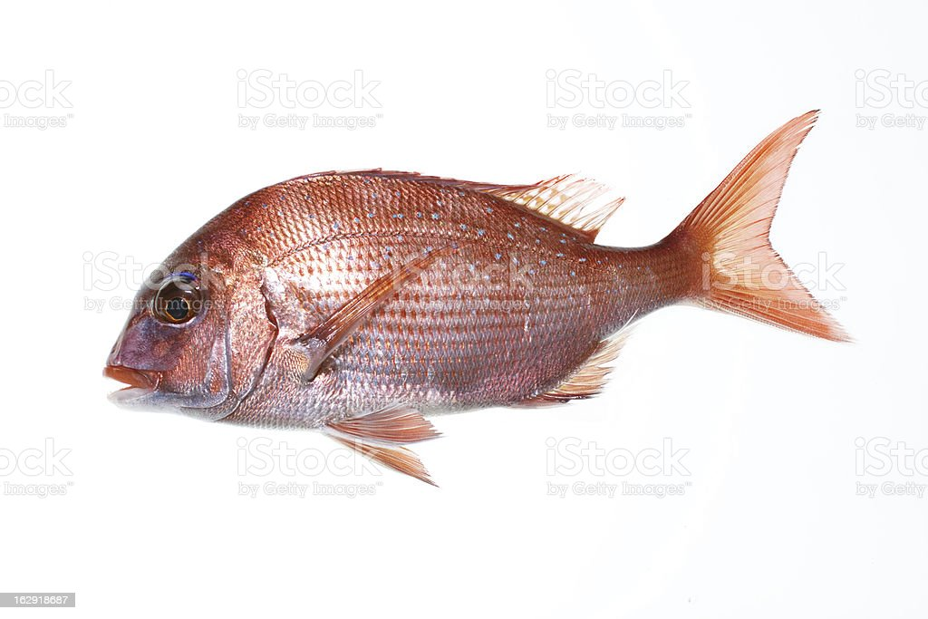 Red sea bream / madai royalty-free stock photo