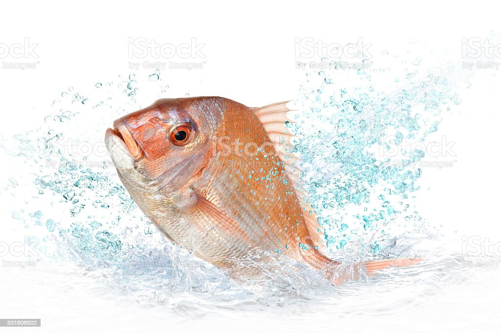 Red sea bream stock photo