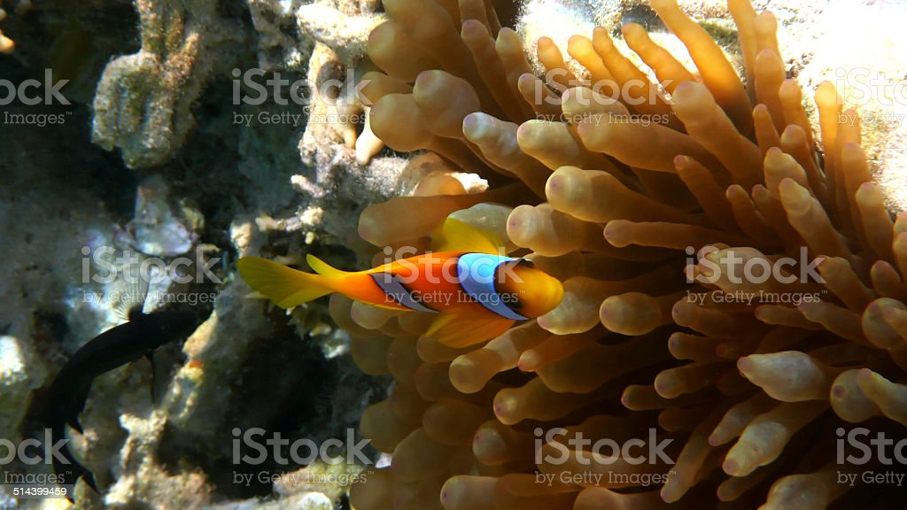 Red Sea clownfish (Amphiprion bicinctus). Red Sea, Egypt. stock photo