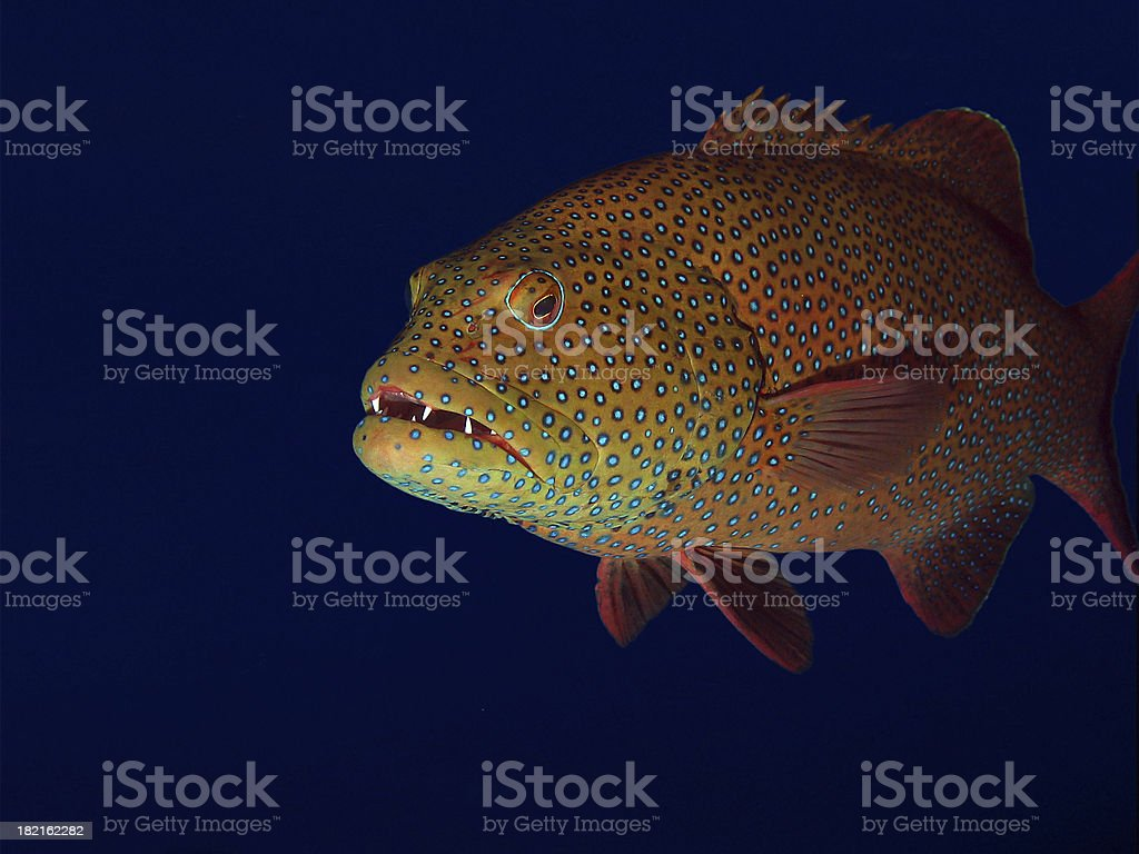 red sea coral grouper left side royalty-free stock photo