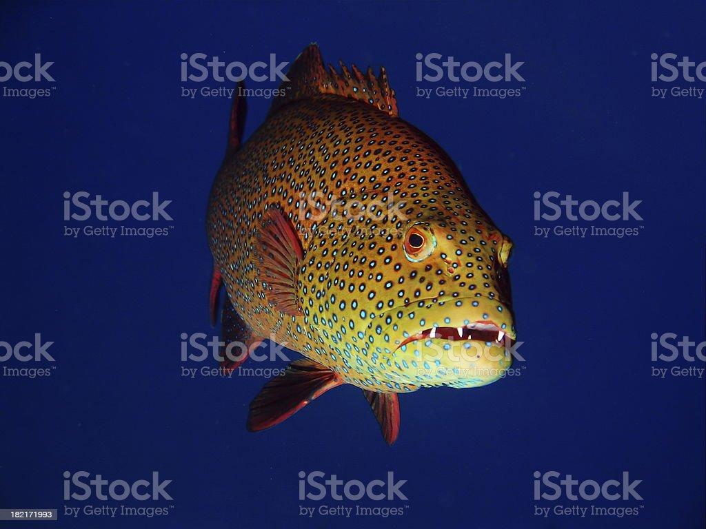 red sea coral grouper stock photo
