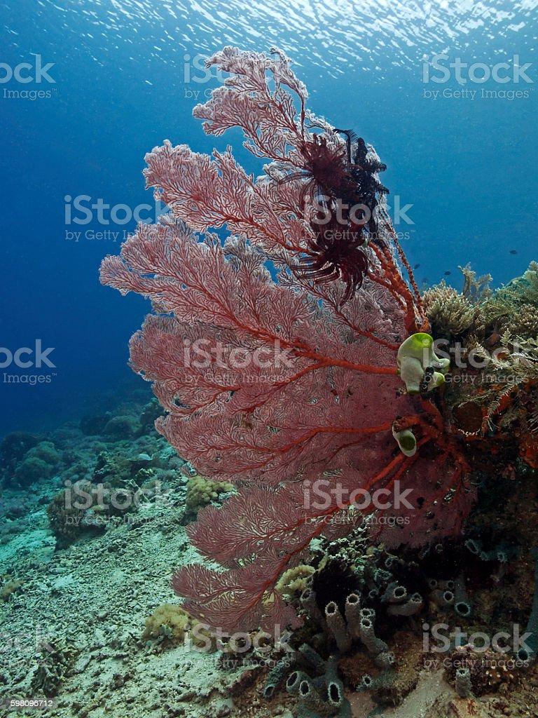 Red Sea Fan, Fächerkoralle stock photo