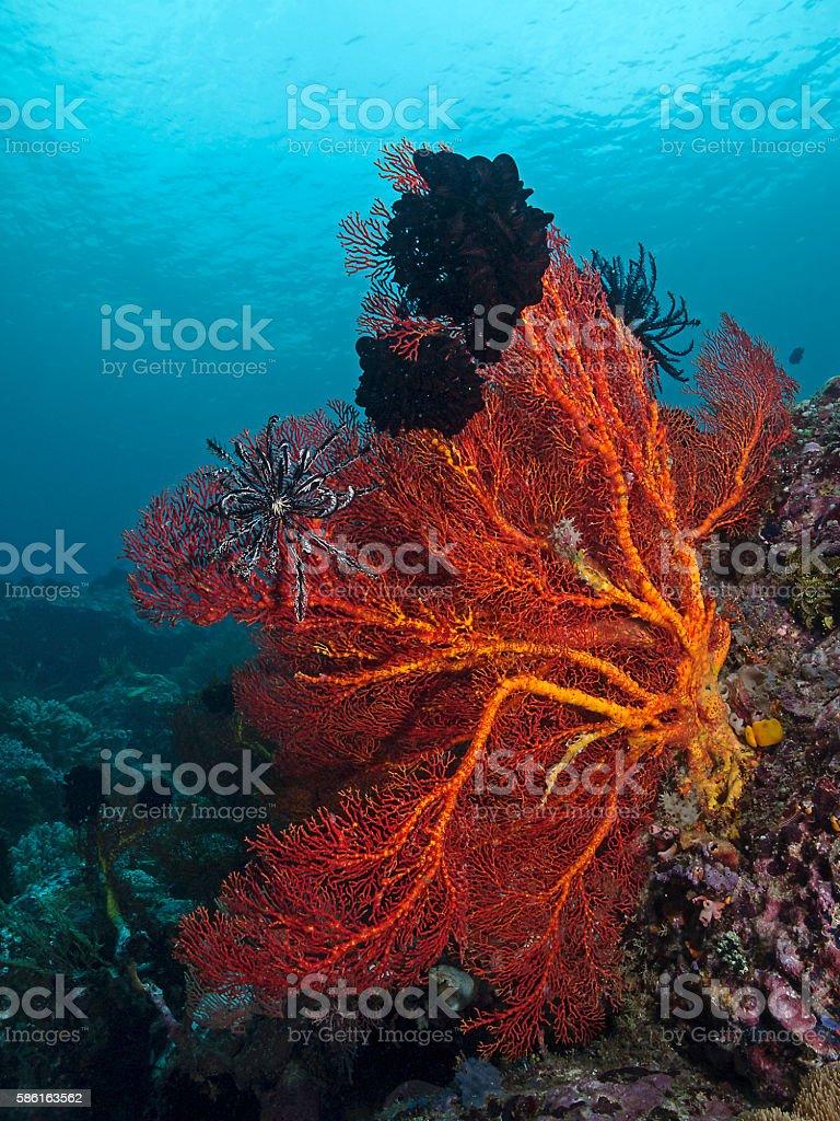Red Sea Fan, Roter Riesen-Knotenfächer (Melithaea ochracea) stock photo