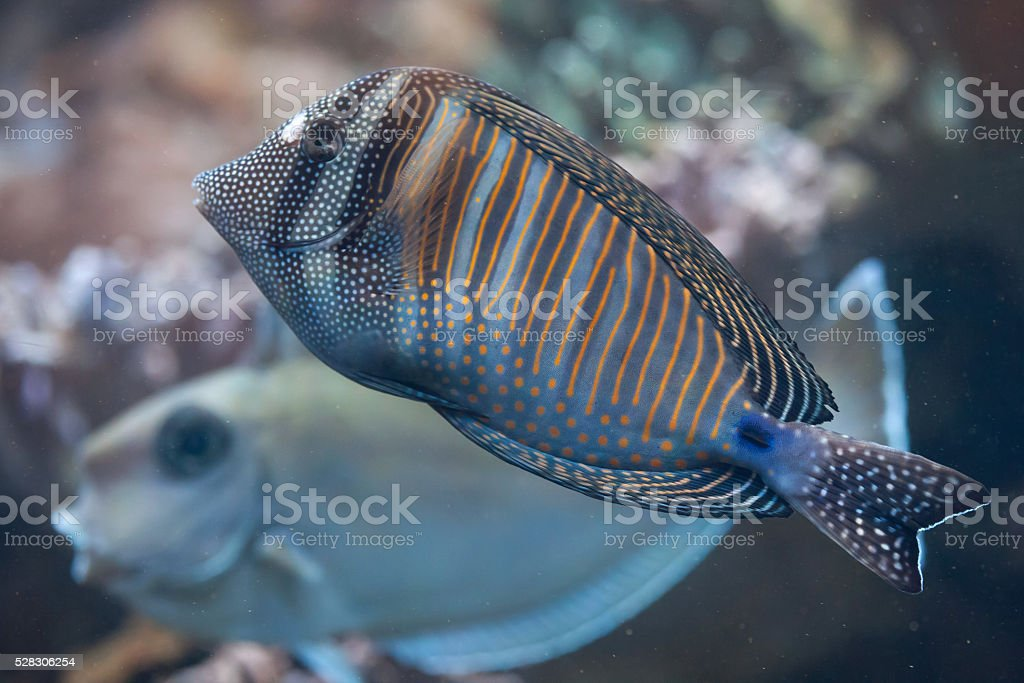 Red Sea sailfin tang (Zebrasoma desjardinii). stock photo