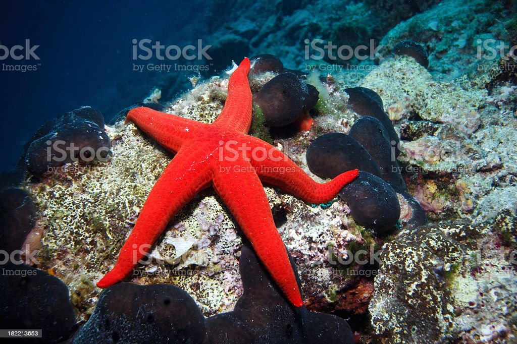 A red sea star on the ocean floor stock photo