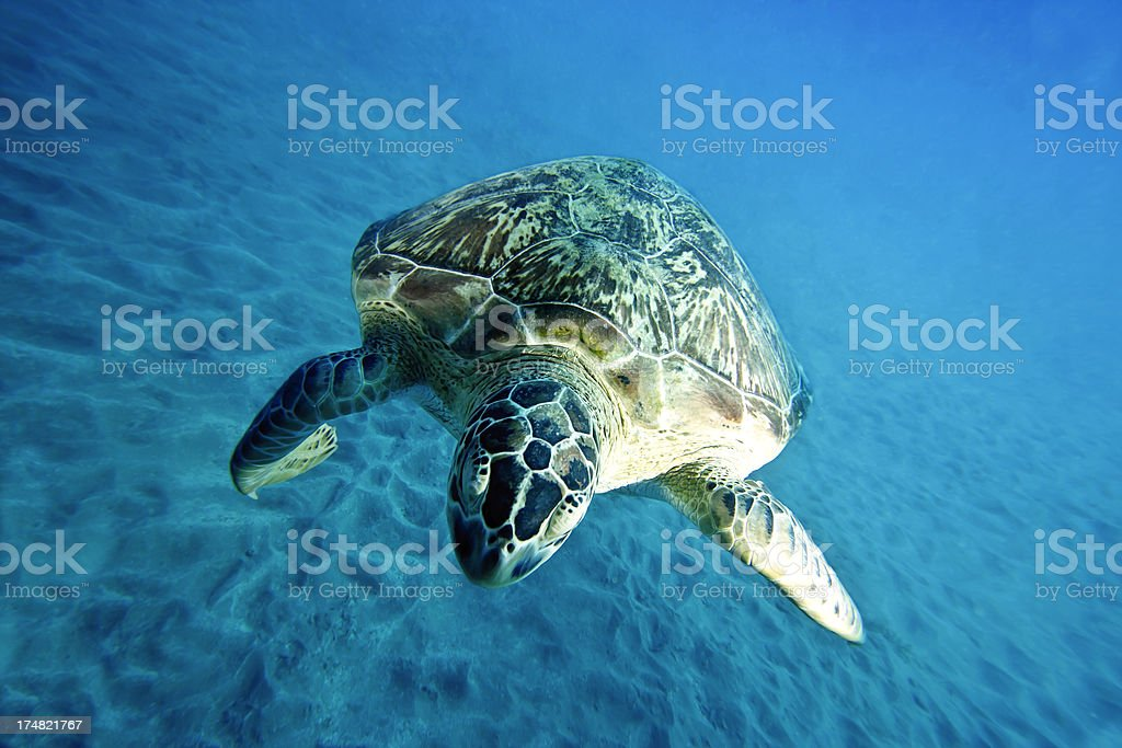 Red Sea Turtle royalty-free stock photo