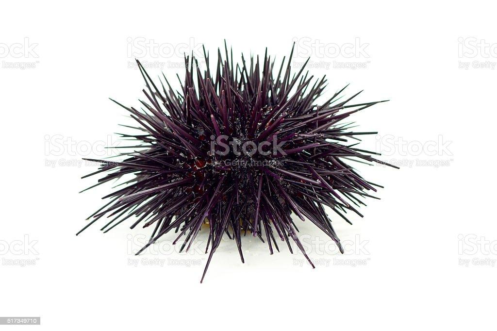 Red Sea Urchin stock photo