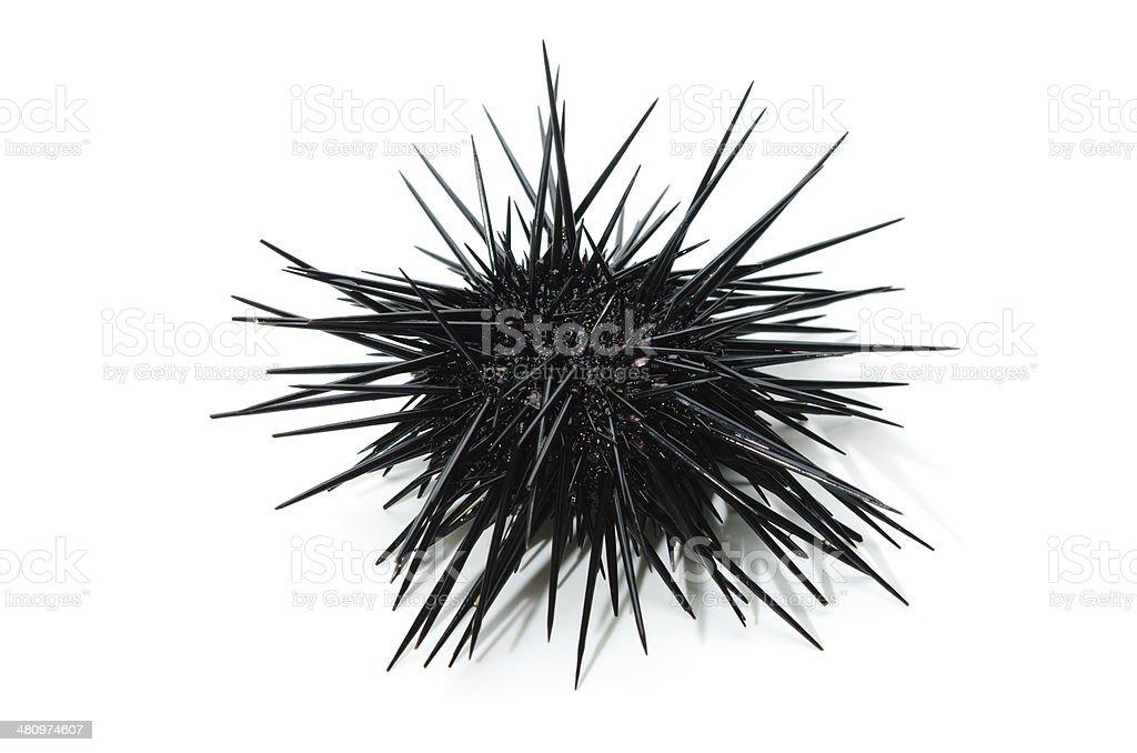 Red Sea Urchin-Pseudocentrotus depressus stock photo