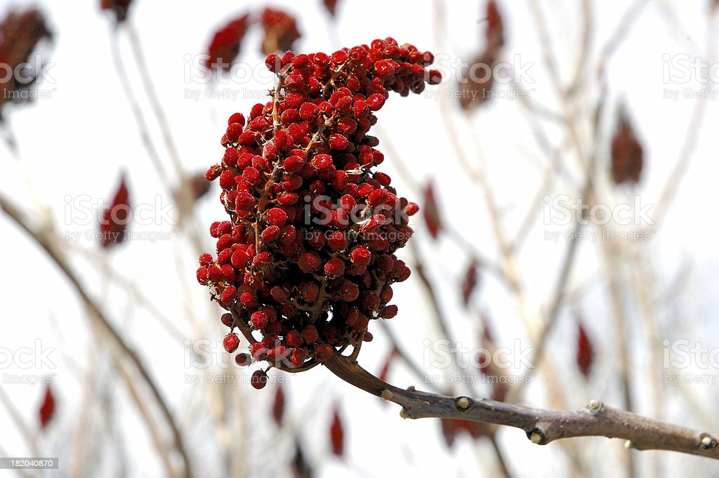 Red Seed Pod - horizontal royalty-free stock photo